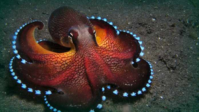 how many hearts does an octopus have