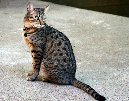 Oldest Cat Breeds That You Can Still Adopt Today